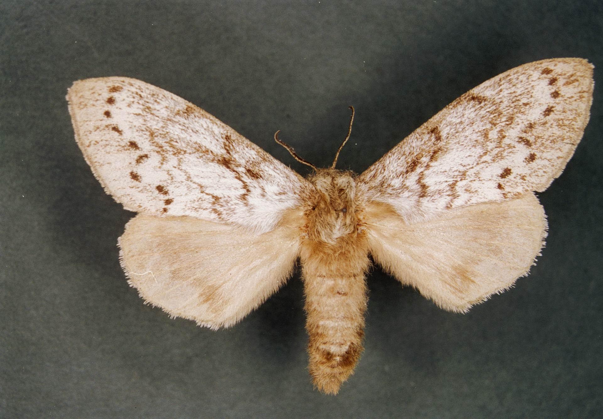 Бабочка сибирского шелкопряда.jpg