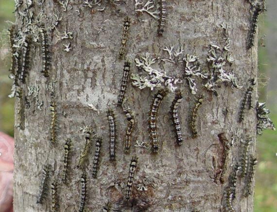 Гусеницы шелкопряда атакуют сибирские леса.jpg