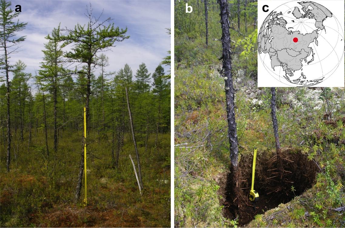 Лиственичный лес в зоне многолетней мерзлоты.jpg